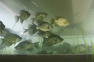 School of Black Crappie under Boat Lift<br />