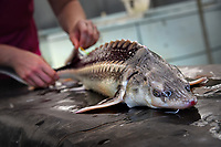 Sturgeon at the Mountain Horticultural Research and Extension Center in Henderson County.