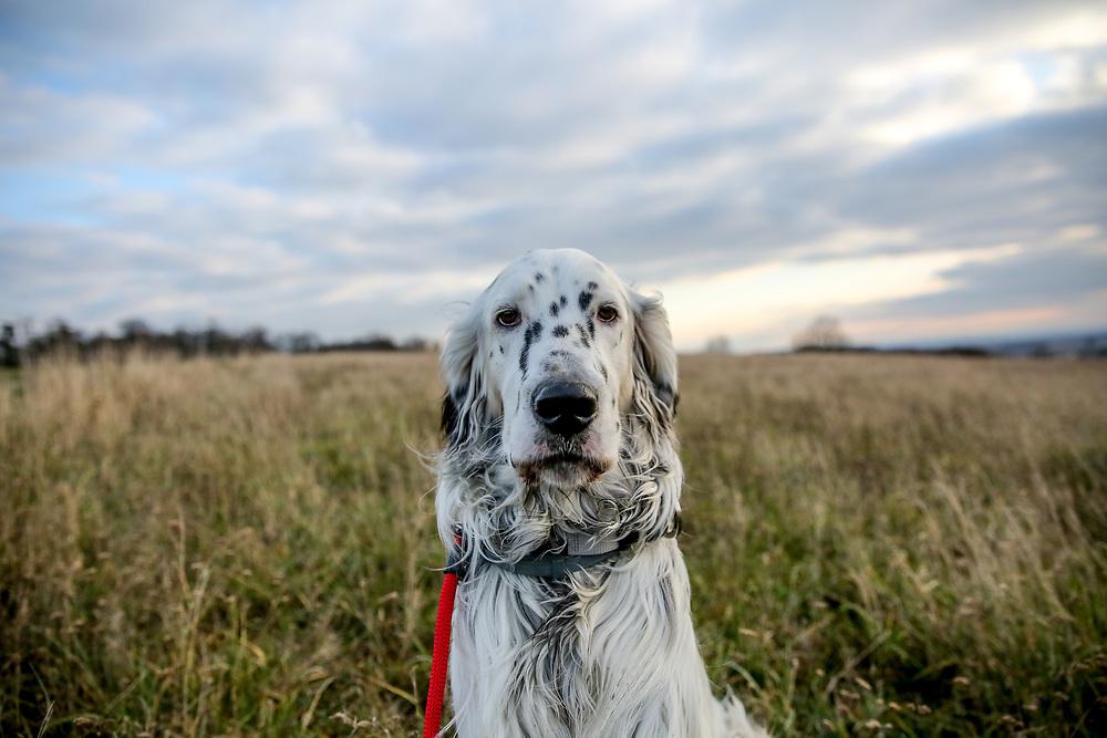"""English Setter """"Rudy"""" am 03.12. 2017 im Feld von Lysa nad Labem, (Tschechische Republik).  Rudy wurde Anfang Januar 2017 geboren und ist vor einiger Zeit zu seiner neuen Familie umgezogen."""