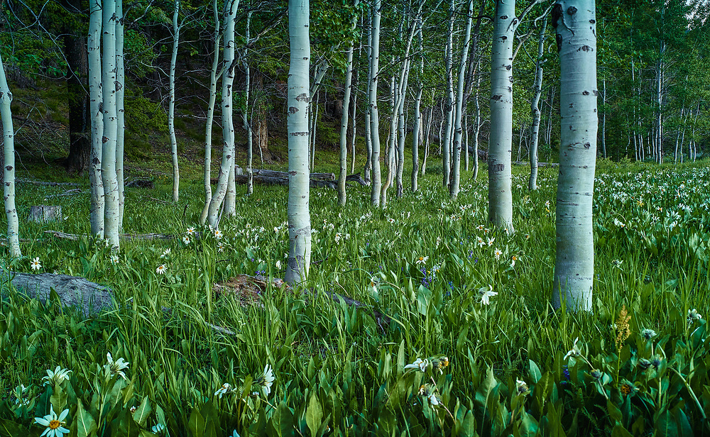 Spring Flowers, Boulder Mountains