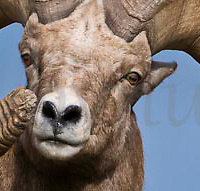 full curl trophy bighorn sheep