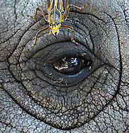 An eastern lubber grasshopper rests on the eyelid of an African elephant at Miami Metro Zoo. In large numbers the species can cause serious damage to citrus, vegetable crops and landscape ornamentals.