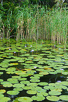 Water lillies and reedbeds of a healthy wetland system in Kosi Bay, KwaZulu Natal, South Africa
