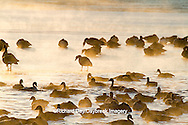 00748-05515 Canada Geese (Branta canadensis) flock on frozen lake,  Marion Co, IL