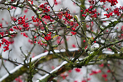 © Licensed to London News Pictures . 21/01/2013 . Manchester , UK . Trees full of red berries , coated with fresh snow in Lightoaks Park , Salford . Snowy scenes in Salford , Greater Manchester today (21st January 2013) . Photo credit : Joel Goodman/LNP
