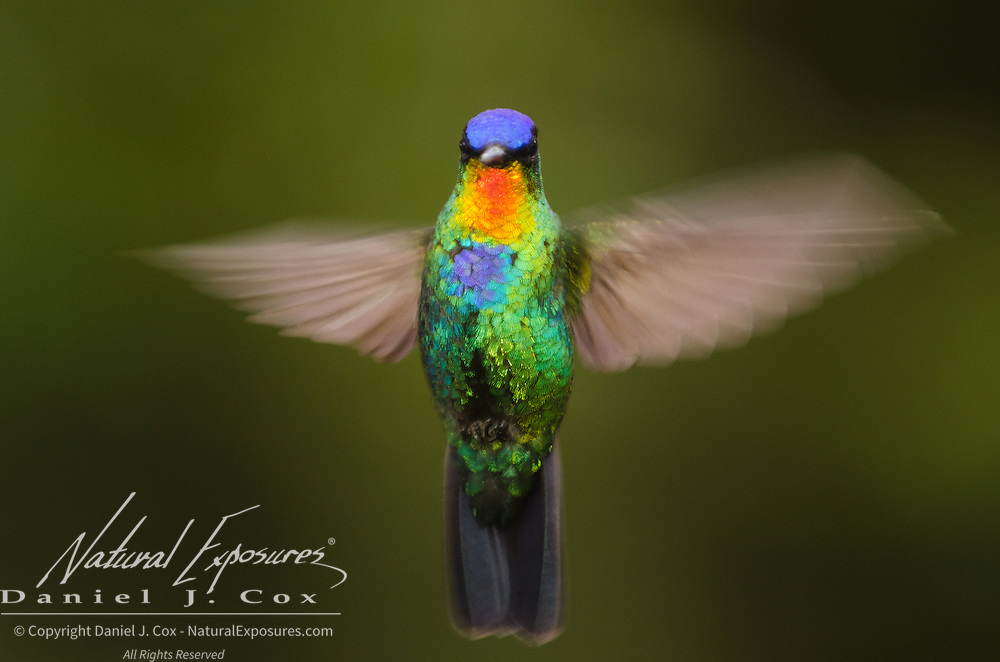 Fiery-throated Hummingbird (Panterpe insignis). Costa Rica