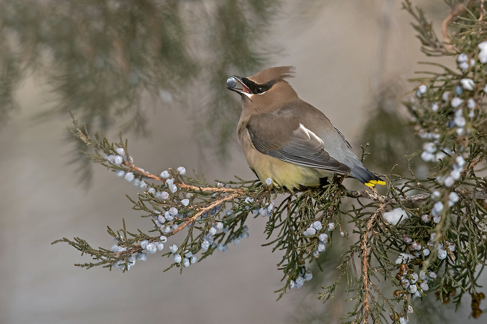 During fall and winter, large flocks of cedar waxwings converge on berry producing trees, often stripping the trees bare within hours.  Mountain ash berries are a waxwing favorite, although on this day, the flock enjoyed a feast of juniper berries.