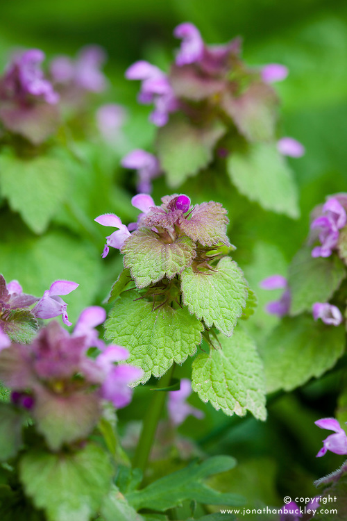 Red Dead Nettle. Lamium purpureum. Also called Purple deadnettle or Purple archangel