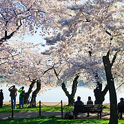 Visitors enjoying some of the 3700 Cherry Blossom trees blooming in early spring around the Tidal Basin next to Washington's National Mall
