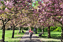 © Licensed to London News Pictures.04/05/2018<br /> GREENWICH, UK.<br /> Photo credit:Grant Falvey/LNP<br /> Cherry blossom.<br /> A sunny start to the May bank holiday weekend  at Greenwich Park, Greenwich.