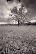 Cades Cove oak tree standinf in field just before a thunderstorm.<br /> -Great Smokey Mountains National Park Tennessee U.S.A