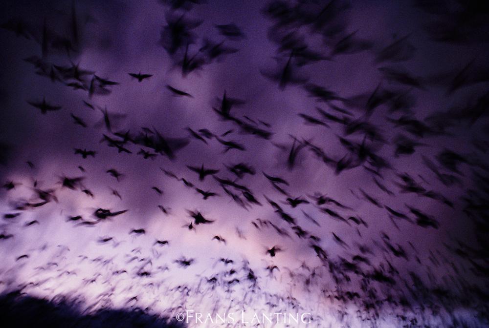 Snow geese at twilight, Chen caerulescens, Klamath Basin National Wildlife Refuge, California