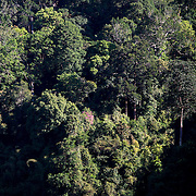 A section of rainforest at Greateast Ulu Muda Forest Coplex. This is among the oldest rain forest in the world. The bee suck nectile for over 180 flowering tree and fusing rainforest honey with unique flavour. During the process, the bee pollinate in between 50 to 70 percent of the forest.
