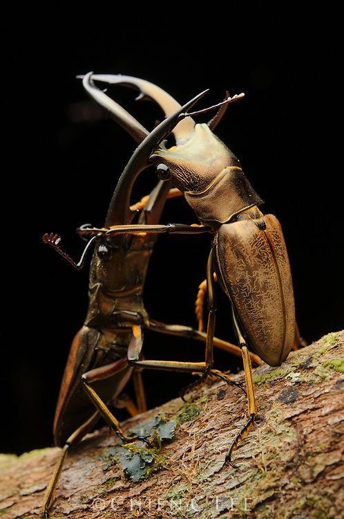 Two male stag beetles (Cyclommatus montanellus magnificus) attempting to overpower one another using their formidable mandibles. Sarawak, Malaysia.