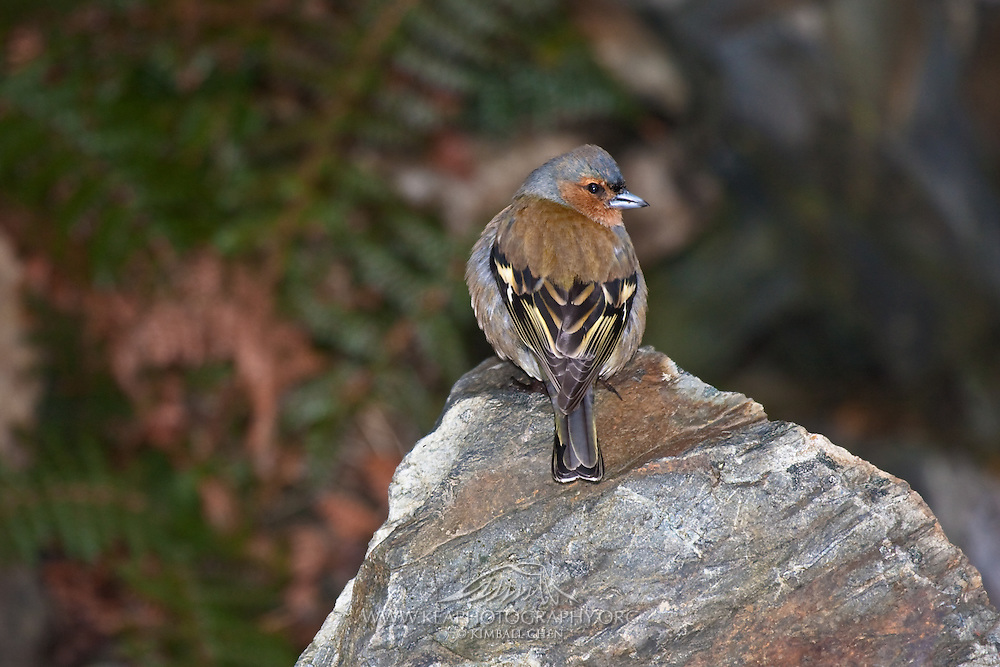 Chaffinch, Fiordland, Routeburn, New Zealand
