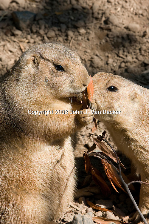 Two Black-tailed Prairie Dogs eating