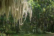 Spanish moss (Tillandsia usneoides) growing upon Southern Live Oak (Quercus virginiana)<br /> Cannon's Point, St Simon's Island, Barrier Islands, Georgia<br /> USA