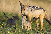 Black-backed Jackal<br /> Canis mesomelas<br /> With four week old pup(s) begging for food<br /> Masai Mara Triangle, Kenya