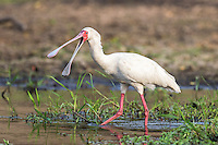 African Spoonbill hunting in the shallows of the Chobe River, Chobe River, Kasane, Botswana.