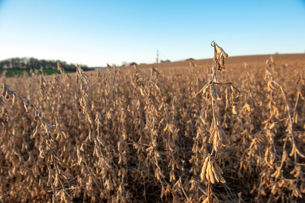 Dead soy bean crops
