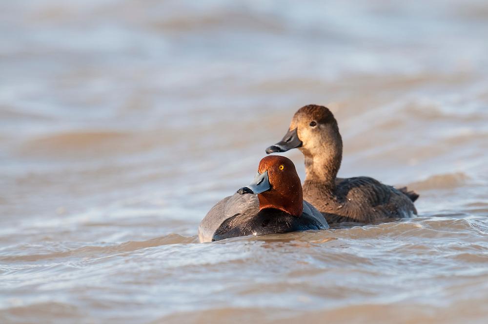 Redheads, Aythya americana, male & female, Saginaw Bay, Michigan
