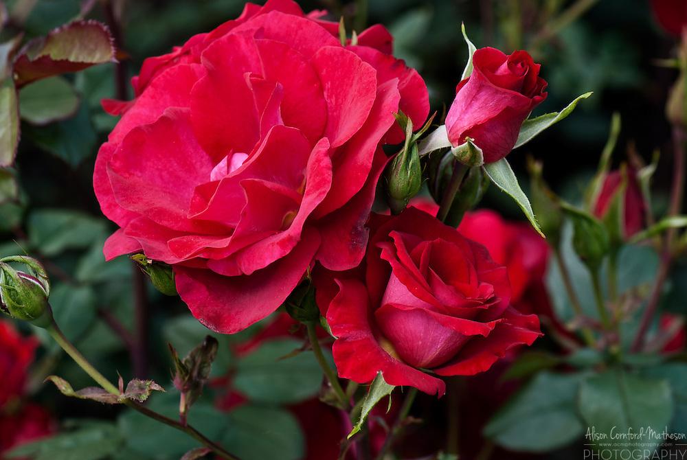 Rose Euro 92