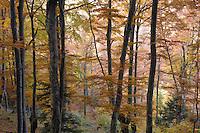 Beech forest in autumn (Fagus spec.), Piatra Craiului National Park, Transylvania, Southern Carpathians, Romania