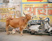 Cow in the street in Udaipur, Rajasthan, India, India