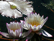 Water Lily Duet ~ A pair of beautiful water lilies, floating sensuously in a quiet pond.<br />