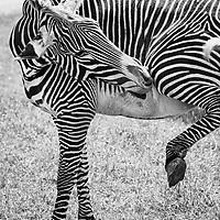 Endangered Grevy Zebra, The Wilds