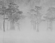 Monochrome Cypress Trees in Heavy fog.<br /> George L. Smith State Park. Twin City, GA