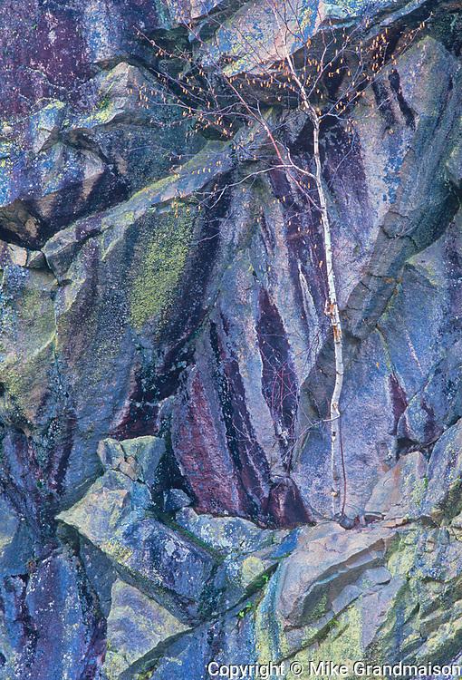 Birch tree (Betula papyrifera) on rock cliff, Whiteshell Provincial Park, Manitoba, Canada