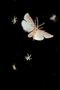 An unidentified moth attracted to a light at night in Matobo National Park, Zimbabwe. © Michael Durham / www.DurmPhoto.com