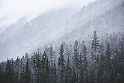 A spring snowstorm on the forested southern slope of Mt Rohr. Duffey Lake Provincial Park, BC.