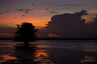 Scarlet Ibises (Eudocimus ruber) in flight at sunset over the Orinoco River Delta, Venezuela.