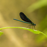 A damselfly perched on a leaf