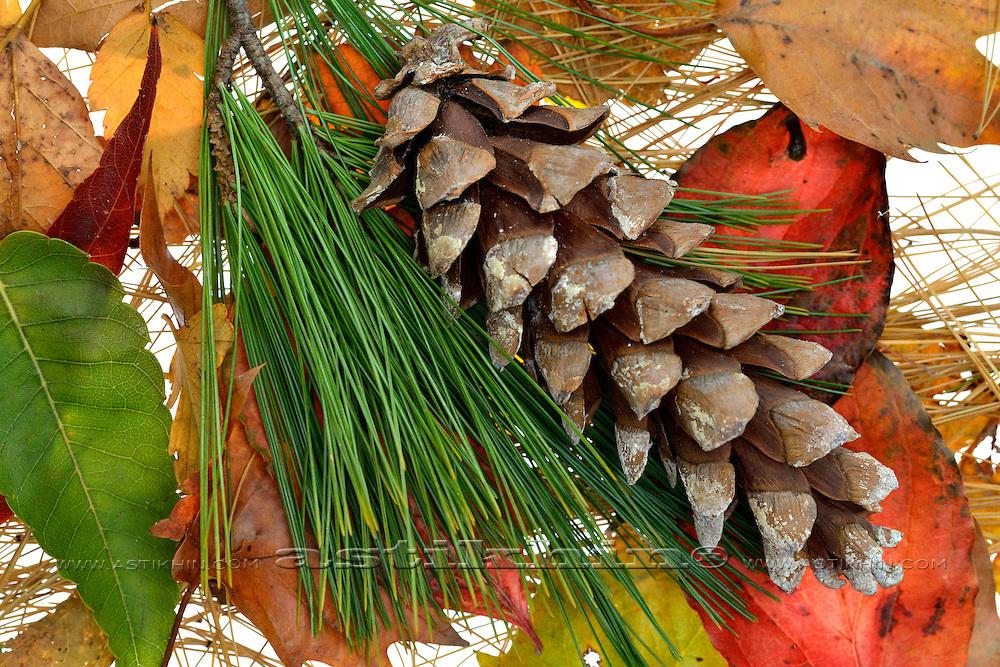 Pine Cone, leafs and needles on white background.