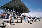 lining up for sheep contest at county fair