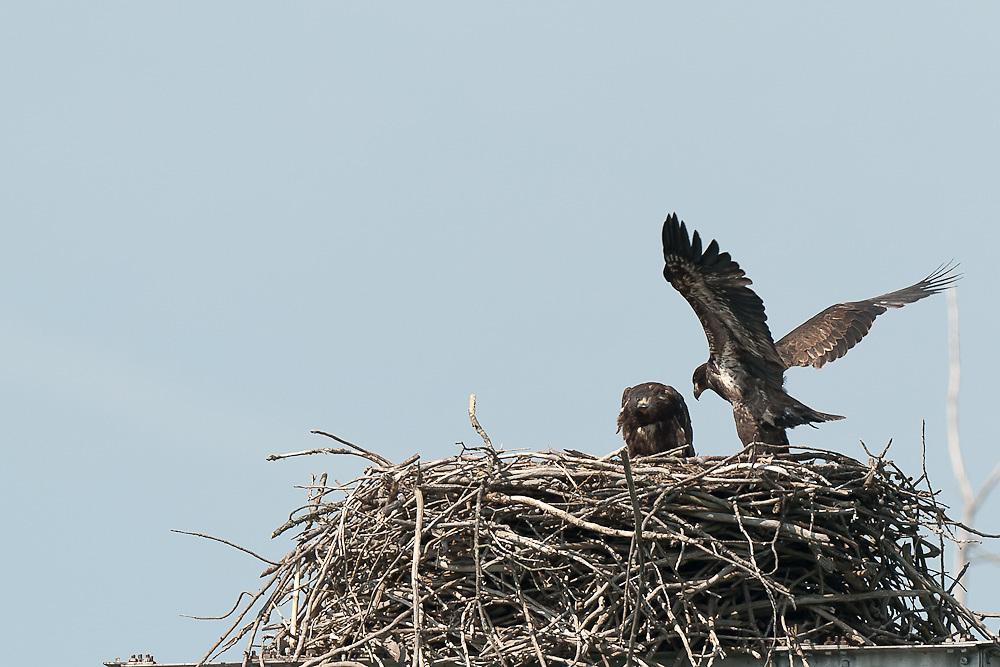 Eaglet under observation