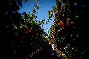 Artemio Tapia picks table grapes in Fresno, Calif., September 24, 2012.