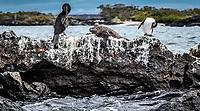 Evolved Galapagos Wildlife - Marine Iguana, Flightless Cormorant & Penguin