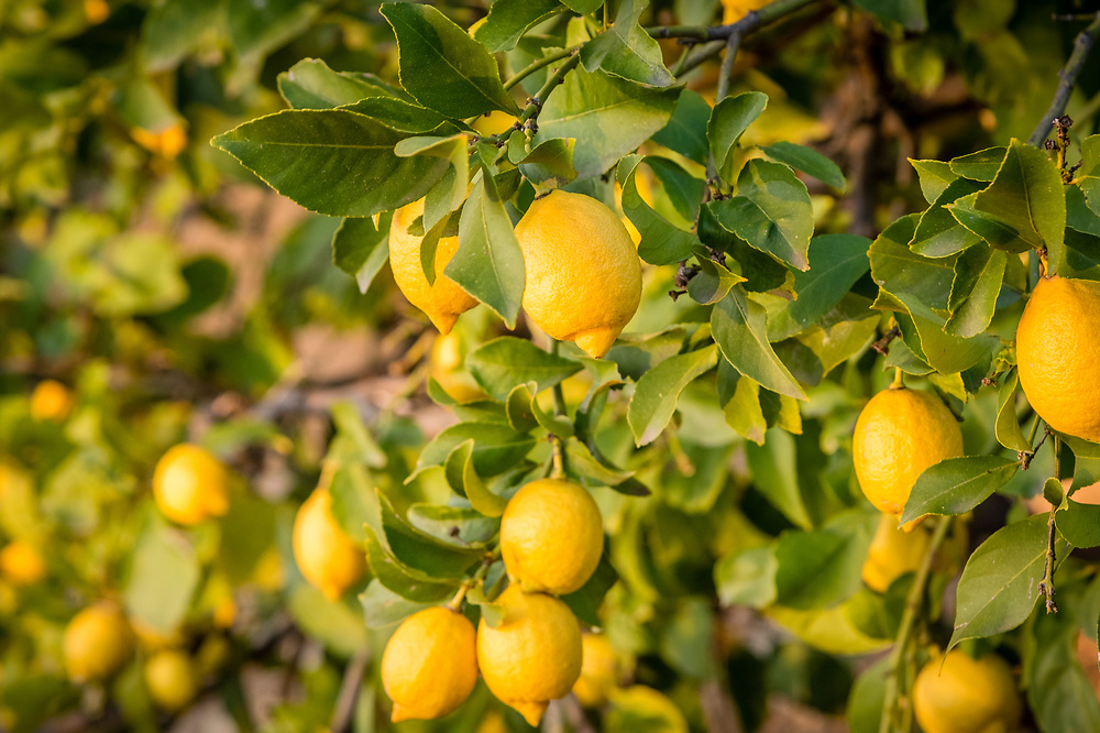 The branch of a lemon tree with fruit.