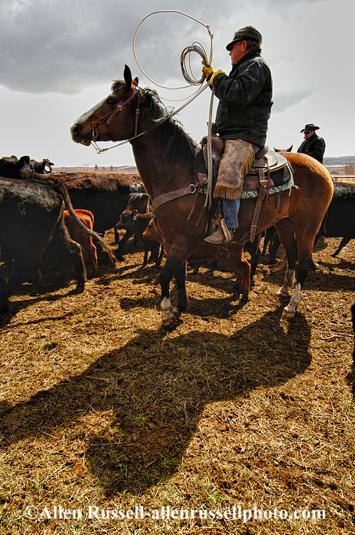 Cowboys sort calves from cows for branding, Wilsall, Montana, Shields Valley.