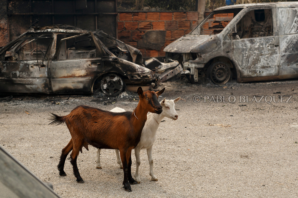 LEIRIA, PORTUGAL - JUNE 19:  Two goats stand next to burned cars after a wildfire took dozens of lives on June 19, 2017 near Castanheira de Pera, in Leiria district, Portugal. On Saturday night, a forest fire became uncontrollable in the Leiria district, killing at least 62 people and leaving many injured. Some of the victims died inside their cars as they tried to flee the area.  (Photo by Pablo Blazquez Dominguez/Getty Images)