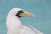 Masked Booby close up
