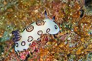 Alberto Carrera, Sea Slug, Dorid Nudibranch, Funeral Jorunna, Jonrunna funebris, Lembeh, North Sulawesi, Indonesia, Asia
