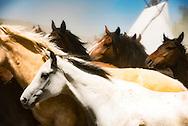 Indian horse herd, Battle of the Little Bighorn Reenactment, Crow Indian Reservation, Montana