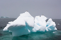 Antarctic Tern (Sterna vittata) in Antarctica