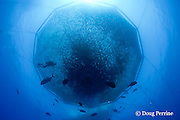 underwater photographer and ulua or giant trevally swim outside Kona Blue Water Farms open ocean aquaculture pen containing Kona kampachi or almaco jacks, Seriola rivoliana, Keahole, Kona Coast, Hawaii Island ( the Big Island ) Hawaii, U.S.A. ( Central Pacific Ocean )