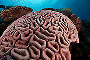 Convolutions of Brain Coral, Yap Micronesia (Photo by Matt Considine - Images of Asia Collection)